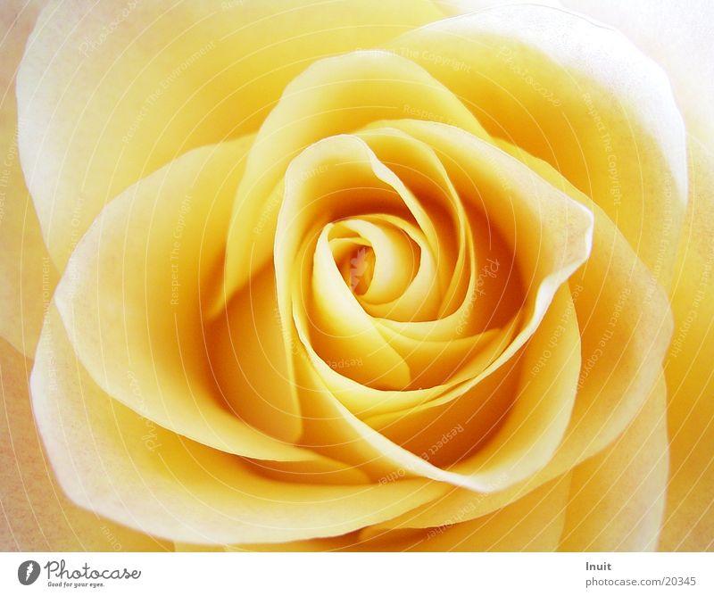 Rose Yellow Blossom Detail Rose blossom