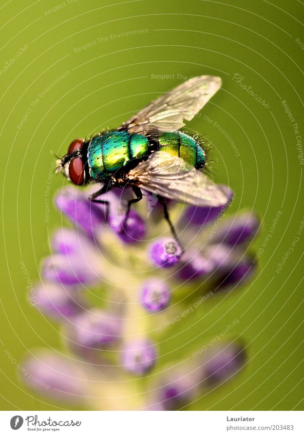Nature Green Plant Summer Animal Blossom Freedom Wait Fly Authentic Violet Wing Natural Macro (Extreme close-up) Lavender Spring fever
