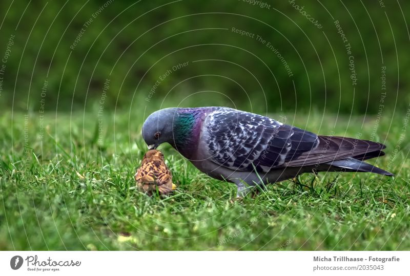 Pigeon and sparrow Environment Nature Animal Plant Grass Foliage plant Pet Wild animal Bird Animal face Wing Sparrow 2 To feed Walking Together Small Delicious