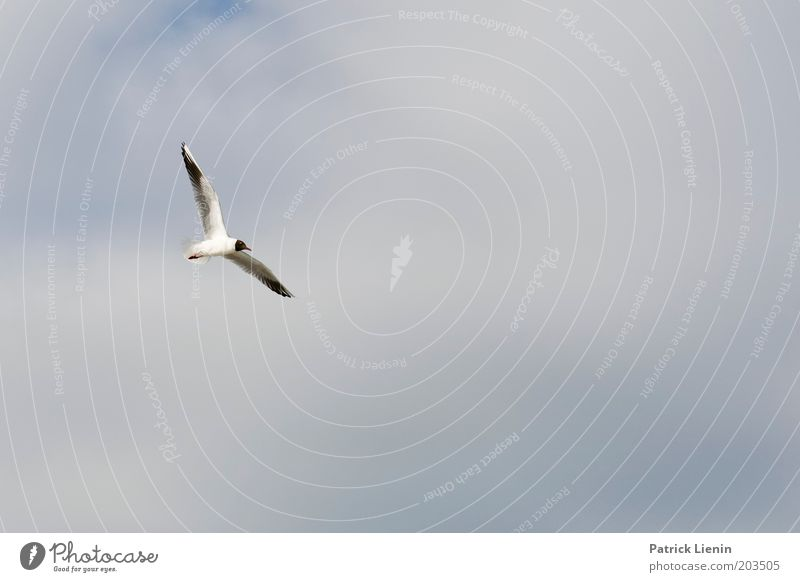 Weightless Nature Animal Air Sky Clouds Summer Flying Seagull Hover Weightlessness Beautiful Wing Black Bird Mud flats Colour photo Exterior shot Deserted