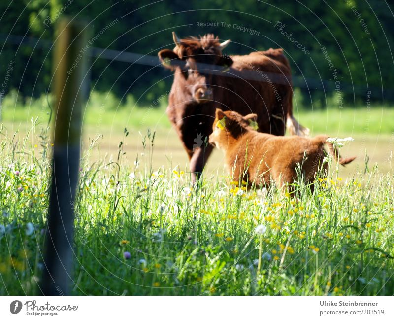 The most important thing in life, my son..... Nature Grass Meadow Cow Green Cattle Highland cattle Scotland Pasture Fence Calf Livestock Cattle breeding