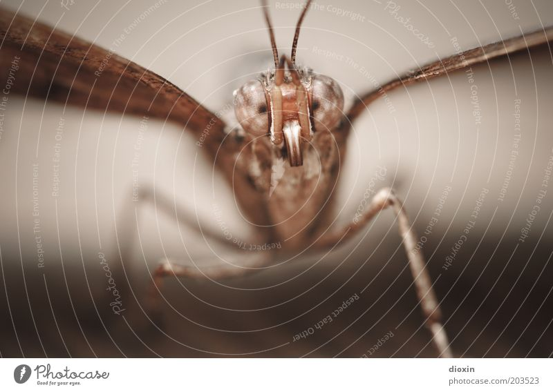 Can those eyes lie? Animal Butterfly Animal face Wing Eyes Compound eye Feeler Legs 1 Observe Small Brown Insect Colour photo Close-up Detail