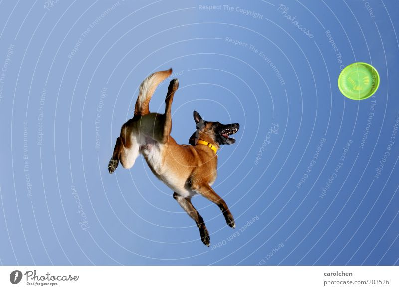 Sky Dog Blue Green Animal Playing Jump Leisure and hobbies Flying Catch Fitness Hover Sports Training Pet Love of animals Frisbee