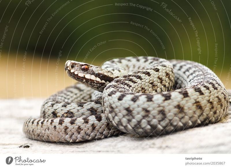 beautiful common crossed viper basking on wood stump Woman Nature Beautiful Animal Adults Natural Gray Brown Wild Fear Wild animal Dangerous Photography