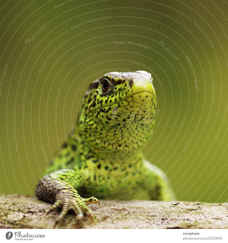 closeup of male sand lizard Beautiful Body Summer Sunbathing Man Adults Environment Nature Animal Sand Small Cute Wild Brown Green Protection Colour lacerta