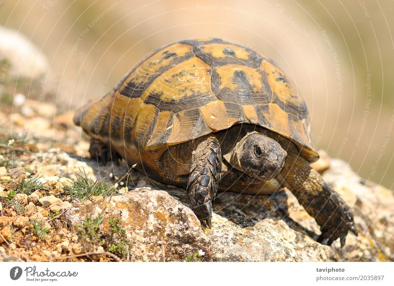 closeup of wild Testudo graeca Environment Nature Animal Pet Shield Old Natural Cute Speed Wild Green Protection full Length Tortoise slow Reptiles turtle
