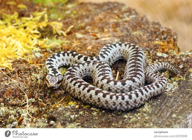 common european adder basking in natural habitat Beautiful Nature Animal Wild animal Snake Natural Gray Black Fear Dangerous European Reptiles venomous
