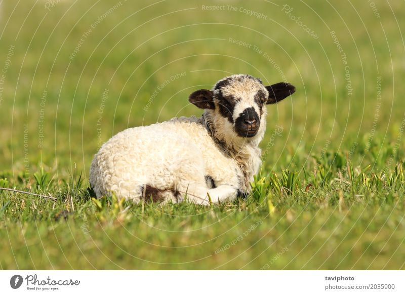 cute mottled lamb Face Baby Youth (Young adults) Nature Landscape Animal Grass Meadow To feed Stand Small Natural Cute Green Black White Farm young Lawn spring