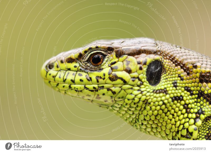 detailed portrait of sand lizard Beautiful Skin Face Man Adults Environment Nature Animal Sand Small Natural Wild Brown Green Colour wildlife agilis lacerta