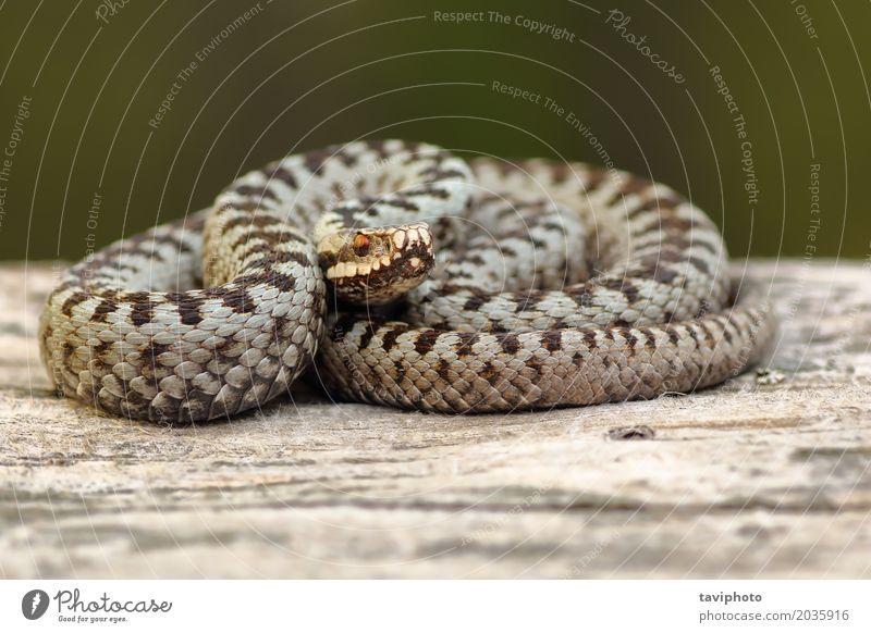 european crossed adder basking on wood Beautiful Environment Nature Animal Wild animal Snake Natural Brown Gray Fear Dangerous vipera berus common European