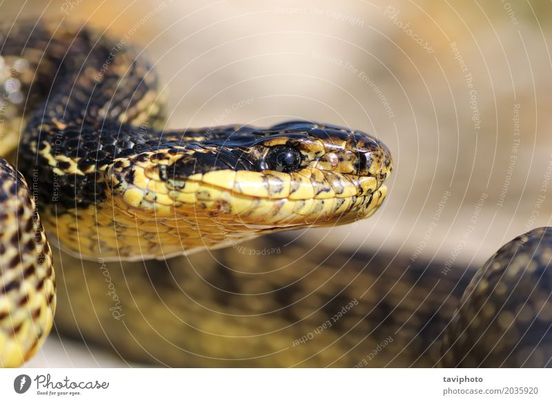 macro portrait of beautiful european snake Nature Beautiful Animal Adults Natural Brown Wild Large Dangerous Mouth Living thing Long Ecological Spotted Reptiles