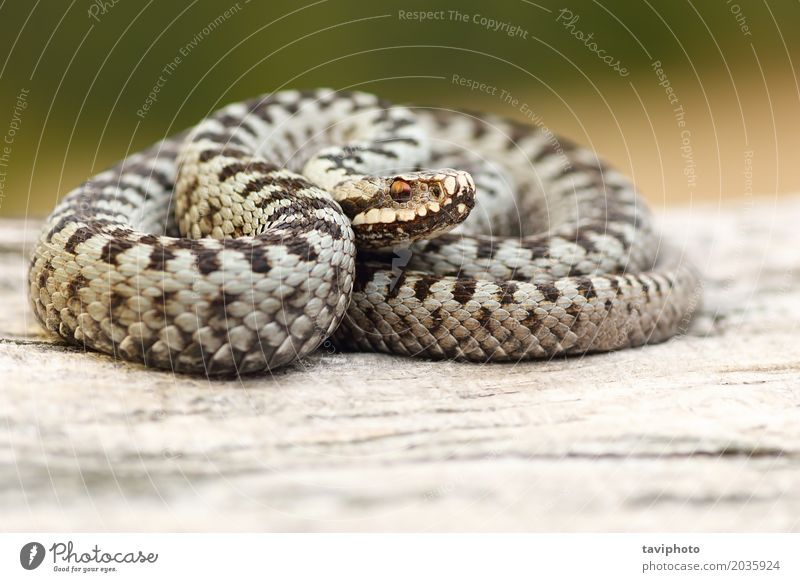 male european common viper basking on stump Nature Man Landscape Animal Black Adults Gray Brown Wild Fear Wild animal Dangerous Photography European Poison