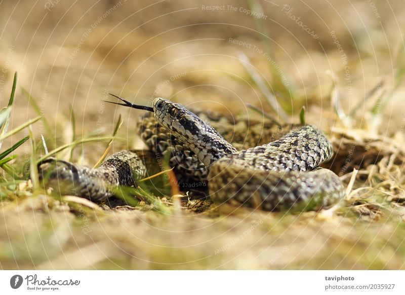 male meadow viper ready to bite Nature Man Beautiful Animal Adults Meadow Wild Fear Europe Dangerous Ground Living thing European Poison Reptiles Snake