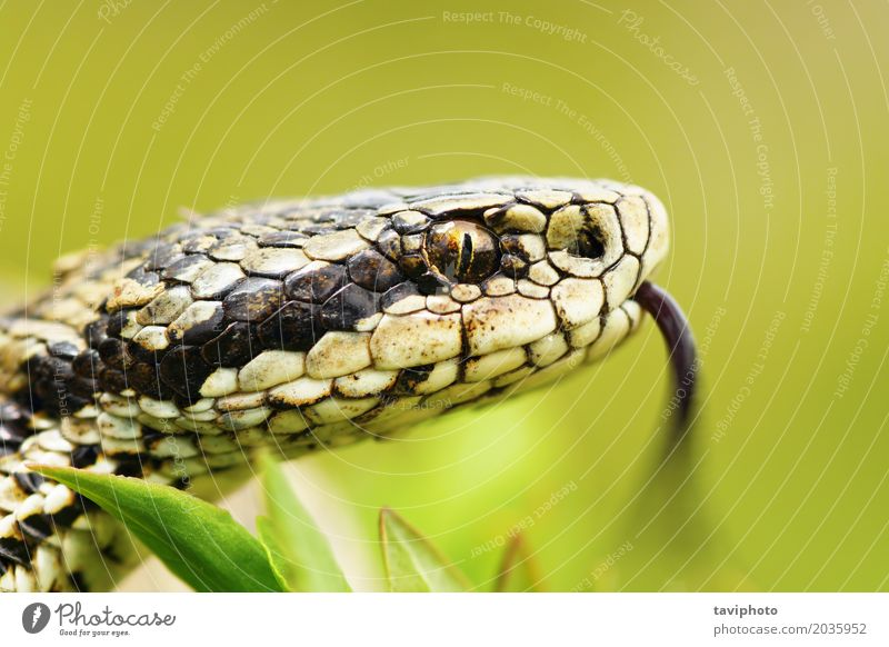 portrait of female Vipera ursinii Woman Adults Nature Animal Meadow Snake Wild Brown Fear Dangerous head vipera Vertical pupil tongue adder hungarian