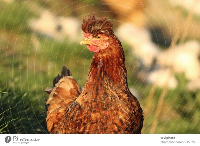 portrait of funny hen Meat Beautiful Face Woman Adults Nature Landscape Animal Bird Funny Cute Brown Red Bizarre Farm Chicken Domestic fowl livestock poultry