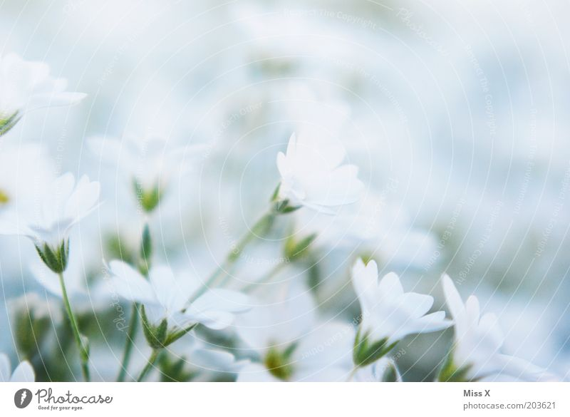 Nature White Flower Plant Meadow Blossom Small Blossoming