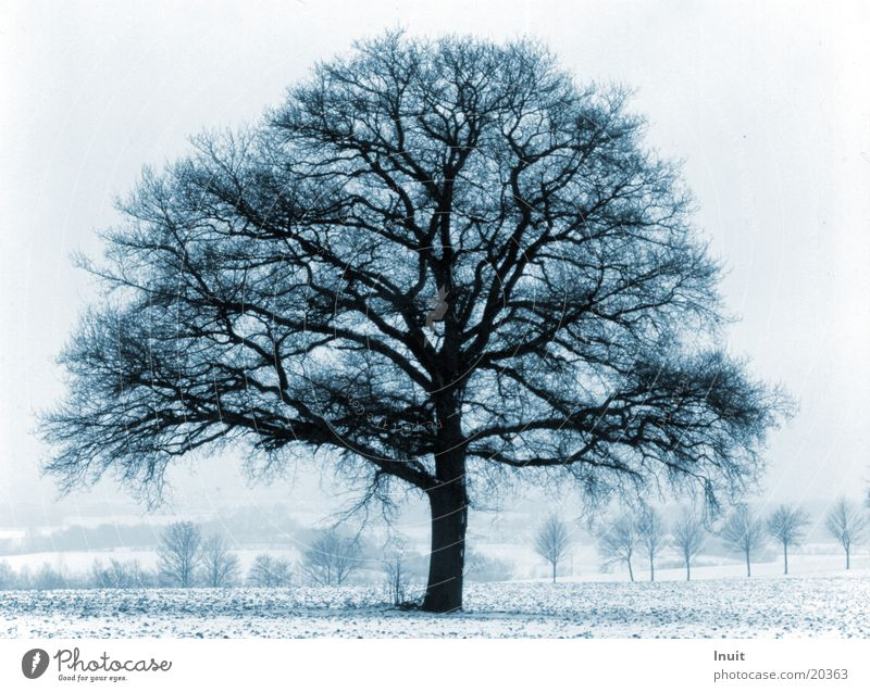 Blue tree Winter Cold Oak tree