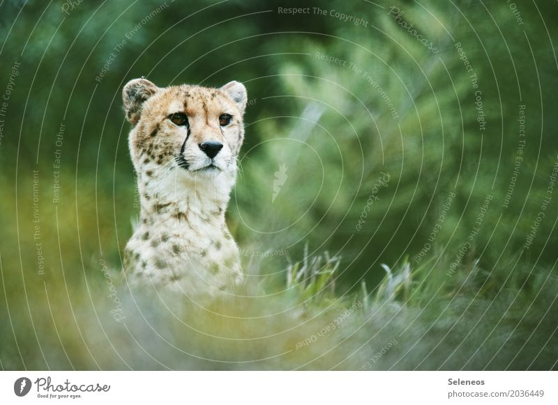 in sight Vacation & Travel Tourism Trip Adventure Safari Summer Environment Nature Grass Bushes Meadow Animal Wild animal Animal face Cheetah 1 Observe Free