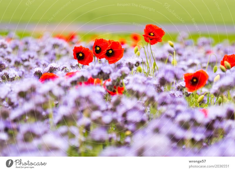 summer-coloured Environment Nature Plant Beautiful weather Agricultural crop Poppy blossom Field Natural Multicoloured Green Violet Red phacelia Summer