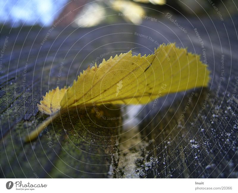 Leaf Yellow Autumn Sawtooth