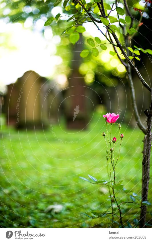 Nature Tree Flower Green Plant Summer Leaf Blossom Grass Pink Environment Growth Blossoming Beautiful weather Twig Cemetery