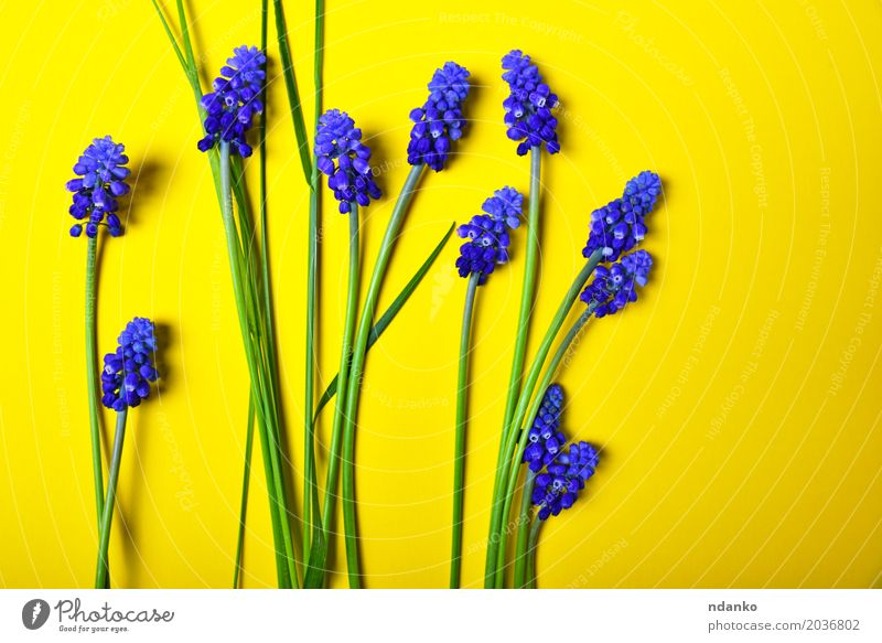 Yellow background with blue flowers, mouse hyacinth Nature Plant Blue Green Flower Leaf Blossom Natural Bright Decoration Fresh Birthday Seasons Bouquet