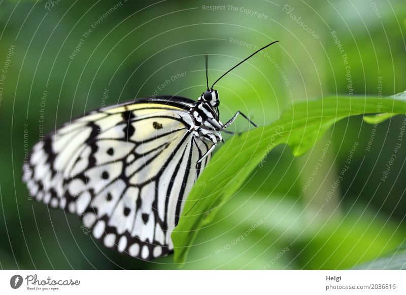 white nymph Plant Animal Leaf Butterfly White tree nymph Noble butterfly 1 To hold on Esthetic Exceptional Beautiful Uniqueness Small Natural Green Black
