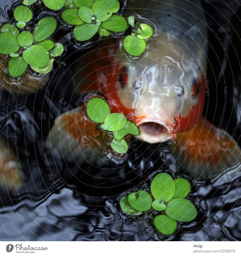 loudmouth Plant Water Spring Leaf Aquatic plant Park Animal Fish Animal face Koi 1 Observe Looking Swimming & Bathing Exceptional Uniqueness Gray Green Red