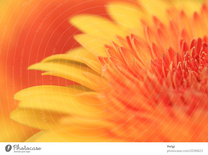 yellow-orange Environment Nature Plant Flower Blossom Gerbera Blossoming Growth Fragrance Beautiful Uniqueness Natural Yellow Orange Esthetic Blossom leave