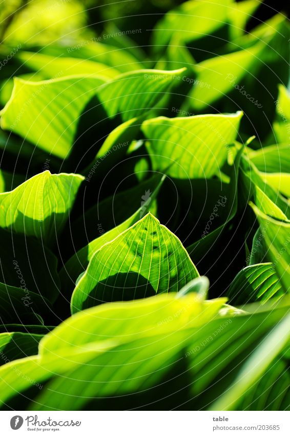 . . .and it's all crass green . . . Plant Leaf Foliage plant Illuminate Growth Esthetic Natural Green Black Emotions Colour Rachis Hosta Colour photo