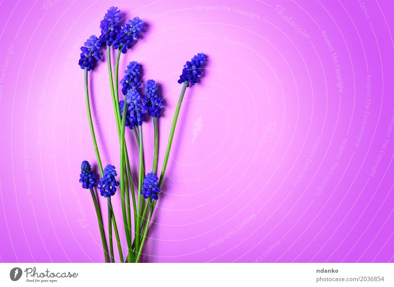 Blue spring flowers on a pink surface Summer Valentine's Day Mother's Day Nature Plant Flower Blossom Bouquet Fresh Bright Natural Green Pink Floral