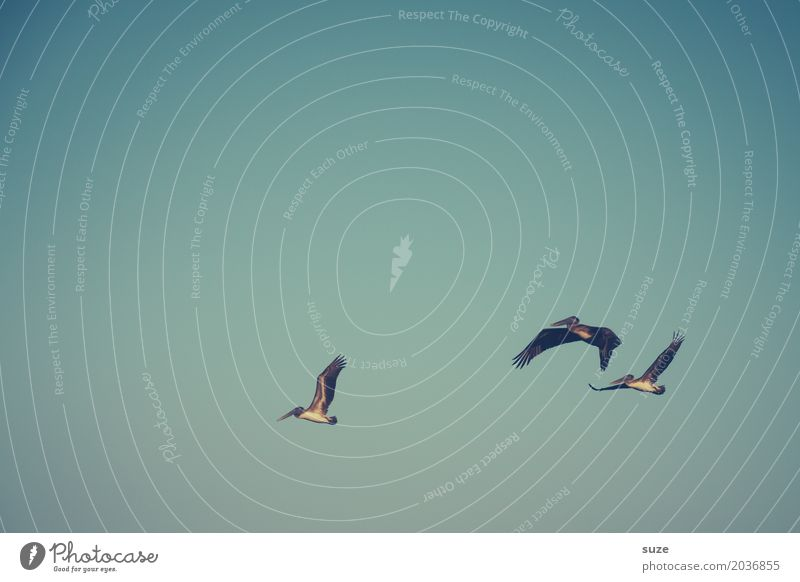 TT | Airy Trio Exotic Freedom Animal Sky Cloudless sky Wild animal Bird 3 Group of animals Flying Retro Blue Pelican Colour photo Subdued colour Exterior shot