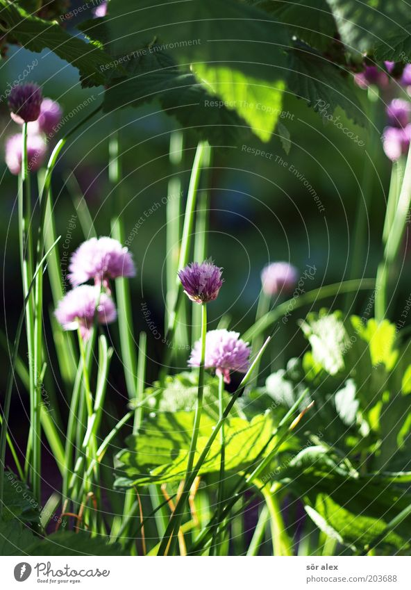 Inflorescence of chives Herbs and spices Nutrition Organic produce Vegetarian diet Plant Blossom Agricultural crop Chives Leek vegetable Garden Growth Fresh