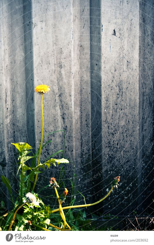steep tooth Environment Nature Summer Plant Flower Agricultural crop Wild plant Dandelion Weed Medicinal plant Wall (barrier) Wall (building) Blossoming Growth