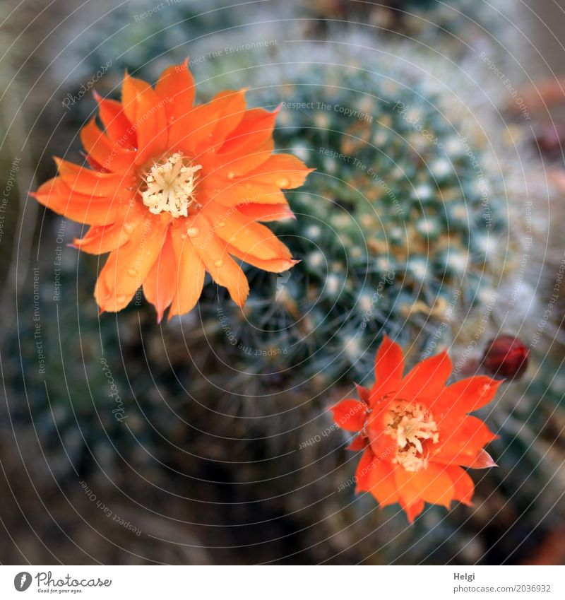 cactus flowers Plant Drops of water Cactus Blossom Bud Thorn Blossoming Growth Esthetic Exceptional Beautiful Uniqueness Small Natural Point Green Orange Red