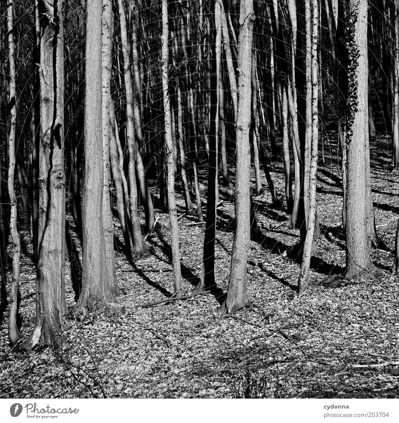 Forest for the trees Environment Nature Tree Mysterious Calm Bleak Edge of the forest Deciduous tree Black & white photo Exterior shot Copy Space bottom Day