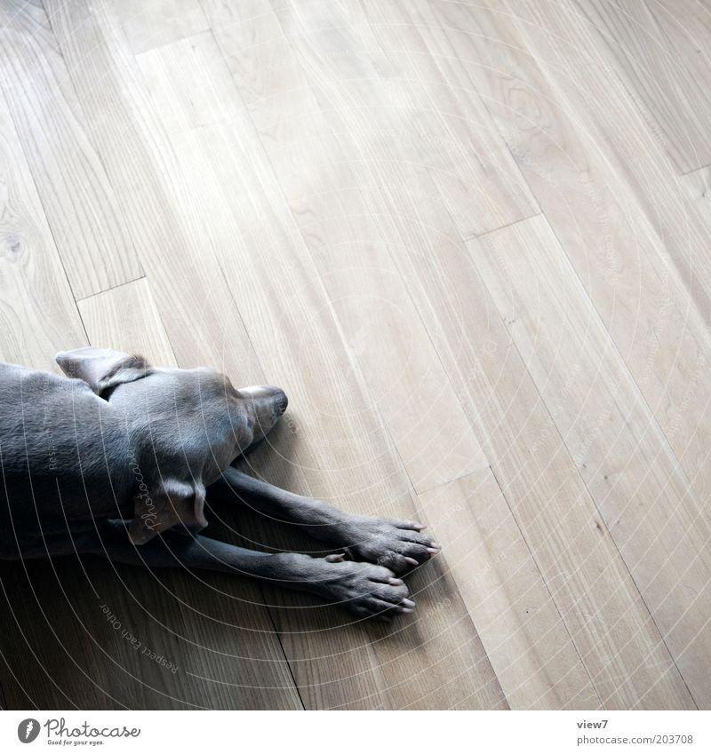 Beautiful Calm Animal Wood Gray Dog Brown Room Flat (apartment) Sleep Esthetic Ground Simple Lie Trust Pelt