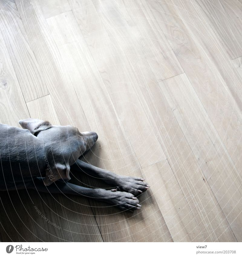 Relax Flat (apartment) Room Animal Pet Dog 1 Wood Lie Sleep Esthetic Simple Brown Trust Safety (feeling of) Beautiful Patient Calm Weimaraner Paw Pelt Gray