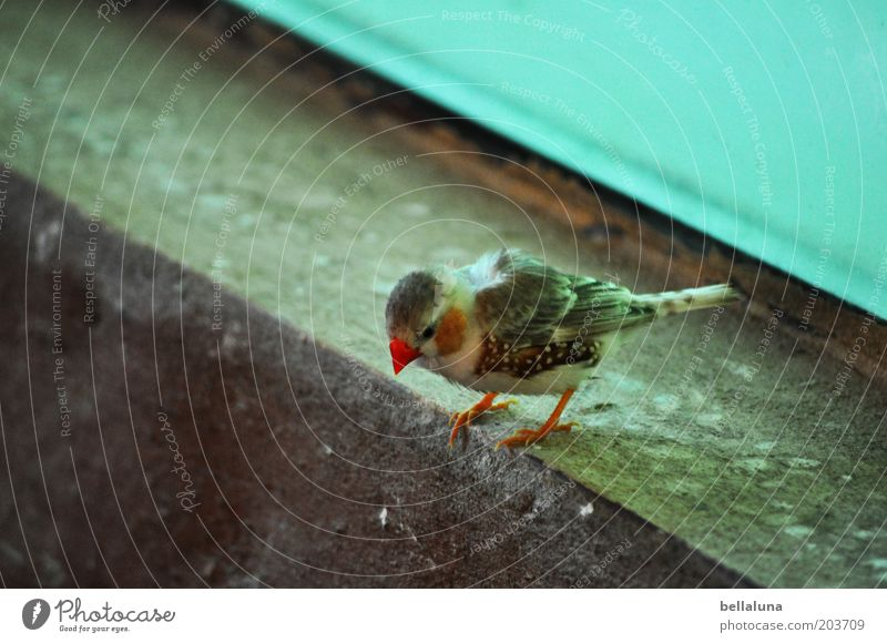 On the jump Animal Wild animal Bird 1 Crouch Zebra Finch Colour photo Multicoloured Interior shot Morning Day Animal portrait Downward