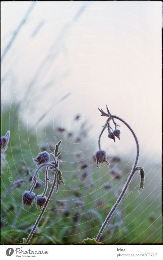 Nature Beautiful Plant Frost Analog Hoar frost Curved Dawn Geum