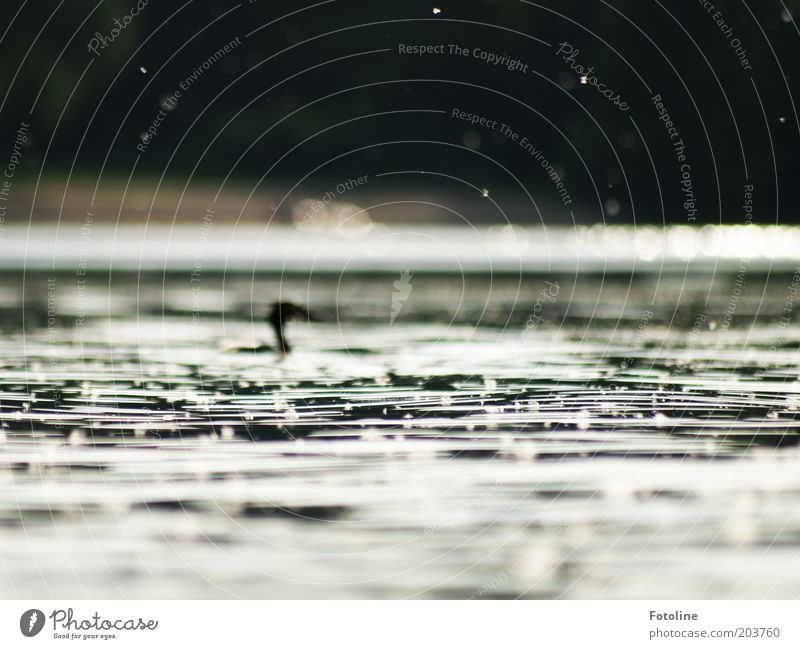 Nature Water Animal Lake Bird Waves Background picture Environment Wild animal Lakeside Elements Surface of water Crested grebe