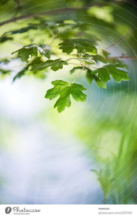Nature Blue Green Summer Leaf Spring Growth Idyll Environmental protection Ease Maple tree Spring fever Wild plant