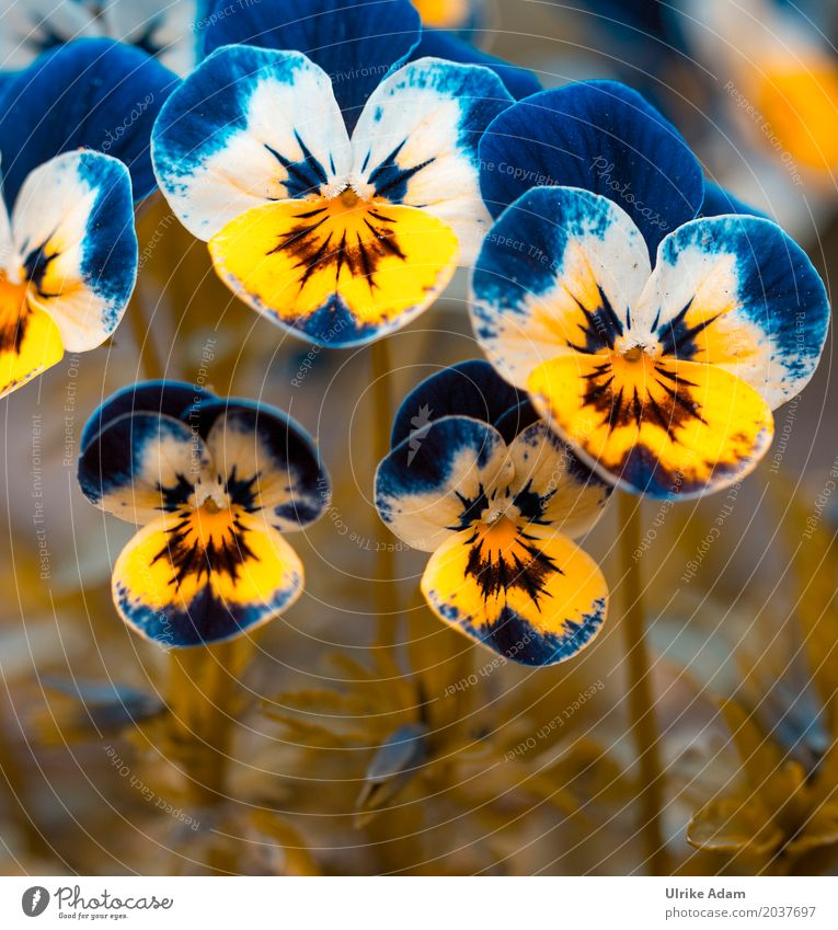 Nature Plant Blue Summer Beautiful Flower Yellow Blossom Spring Meadow Natural Exceptional Garden Wild Park Blossoming