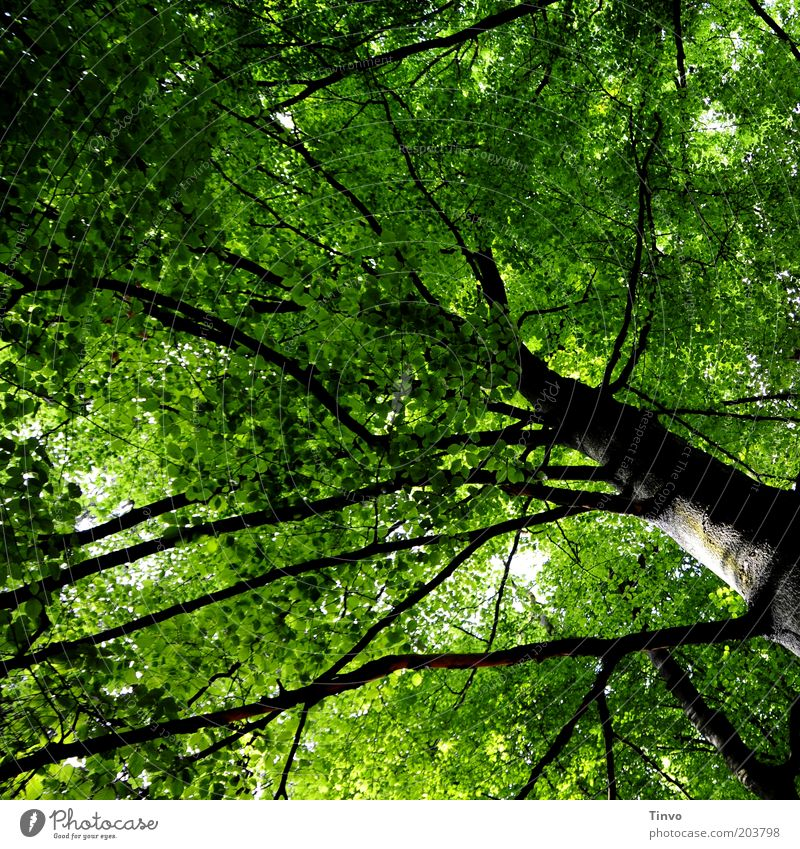 widely ramified Nature Spring Plant Tree Park Forest Old Tall Green Black Power Renewal Twigs and branches Tree trunk full-frame image Leaf canopy