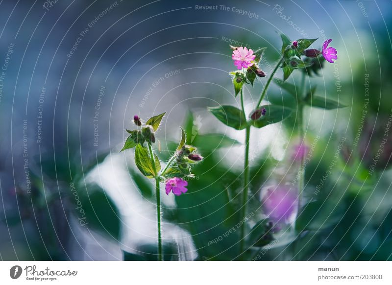 Nature Beautiful Flower Green Summer Leaf Blossom Spring Pink Blossoming Dianthus Spring fever Wild plant White campion
