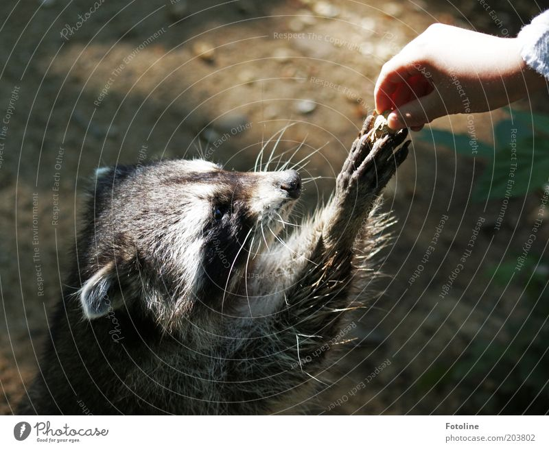 Oh please, please, please! Human being Child Girl Infancy Arm Hand Fingers Animal Wild animal Pelt Paw Bright Warmth Soft Raccoon Mammal To feed Colour photo
