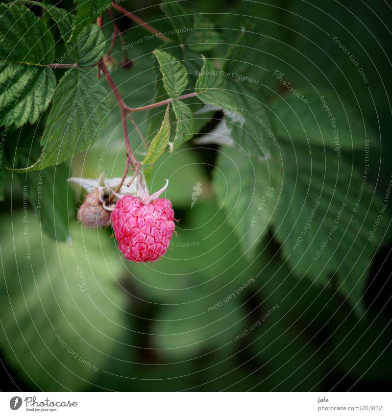 Nature Green Plant Red Leaf Garden Pink Food Fruit Vitamin Raspberry Berries