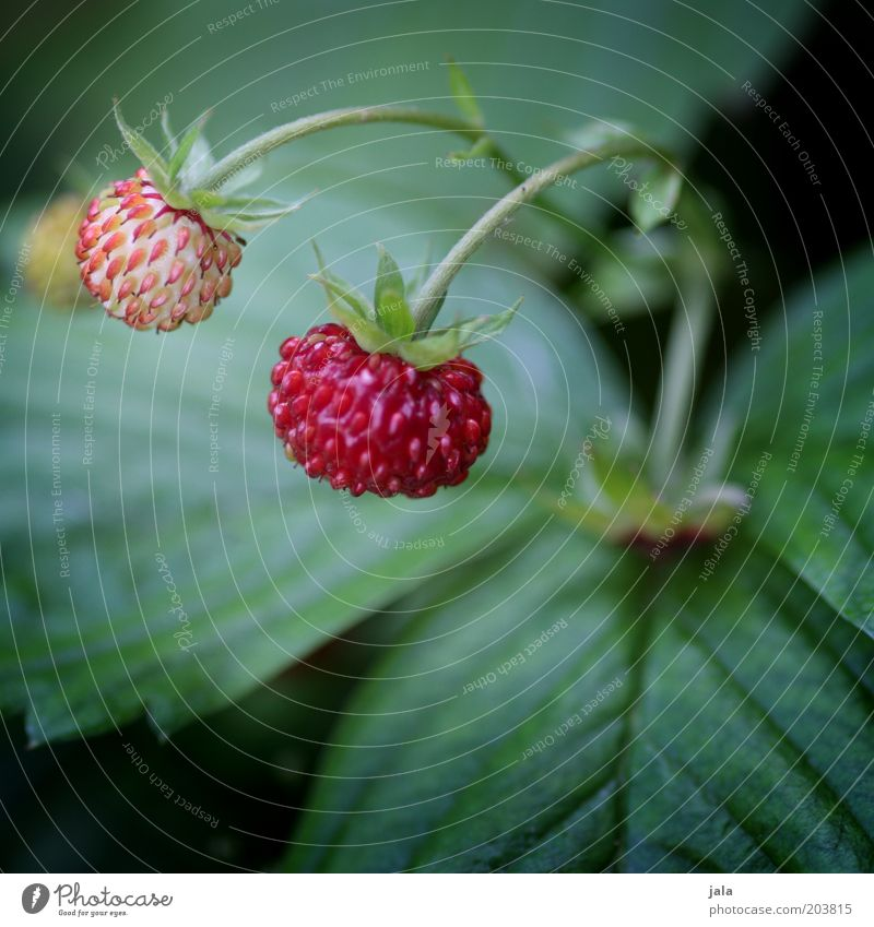 strawberry Fruit Strawberry Nutrition Organic produce Vegetarian diet Nature Plant Garden Green Red Vitamin Healthy Colour photo Exterior shot Close-up Deserted