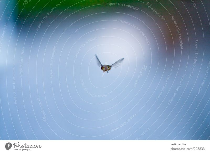 Nature Animal Air Fly Flying Wing Insect Listening Hover Individual Copy Space Hover fly Buzz Hymenoptera