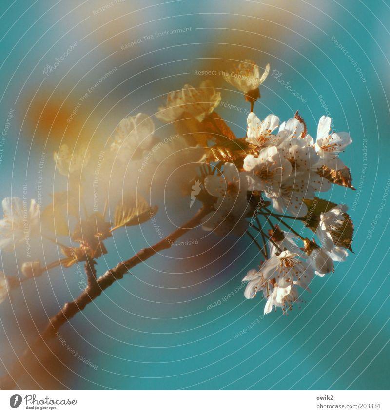 Nature White Plant Blossom Spring Air Power Elegant Environment Growth Change Joie de vivre (Vitality) Natural Blossoming Fragrance Ease